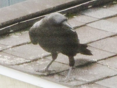 Crow on Shed Roof by DG