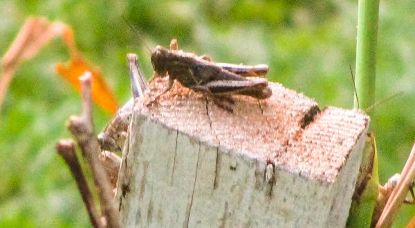 Grasshopper on a Stump by DG