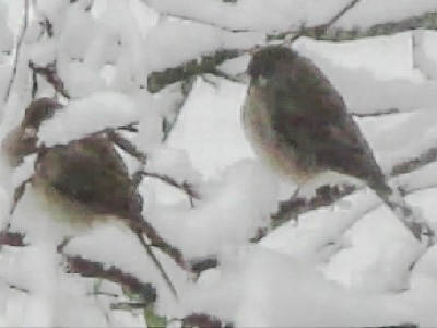 Juncos in snow.