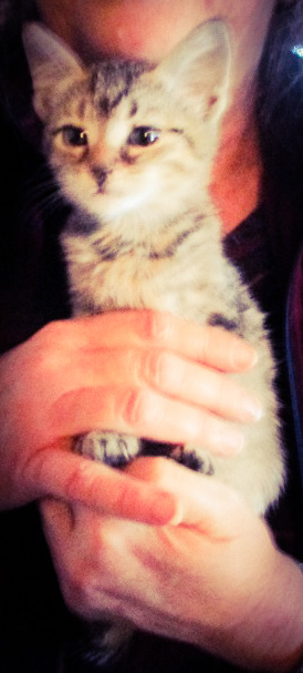 A kitten posing while being held upright.