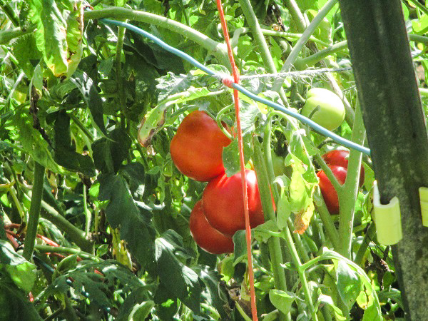 Red tomatoes on the vine, by Dmitri Gheorgheni