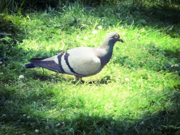 Pigeon by DG