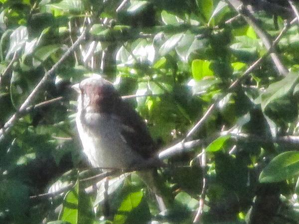 Sparrow in a bush by DG.