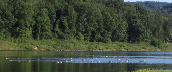 Water Birds on the Allegheny River by DG.