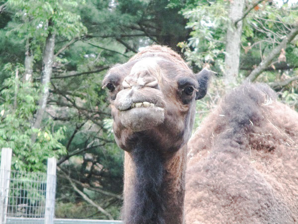 A dromedary, smiling at the camera, by DG.