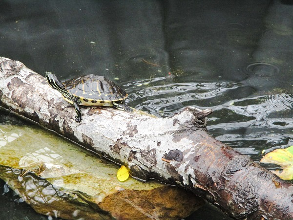 Turtle enjoying itself on a log, by DG
