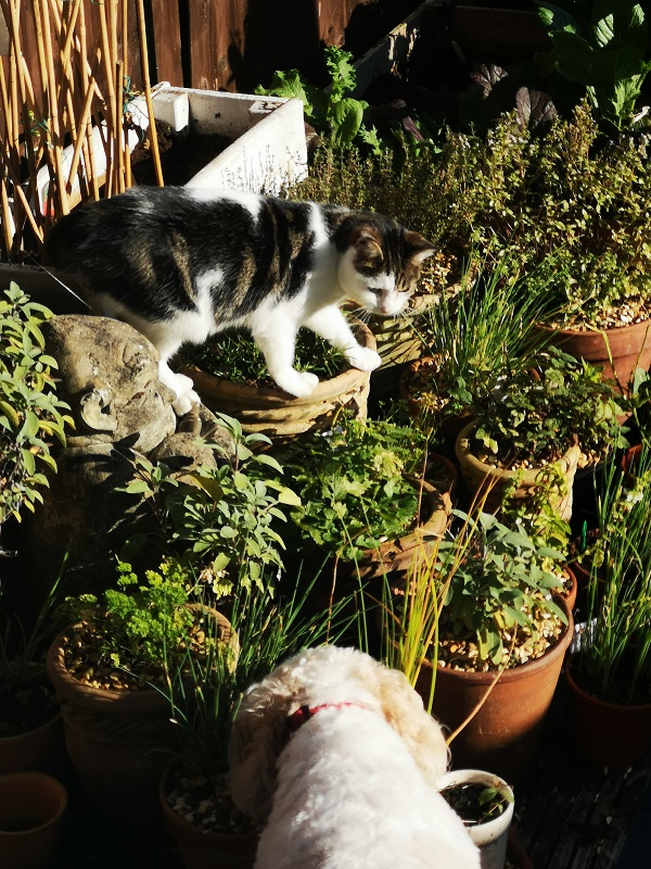 Jax on a butterfly hunt in the herb garden, with Opie as an interested audience, by FWR.