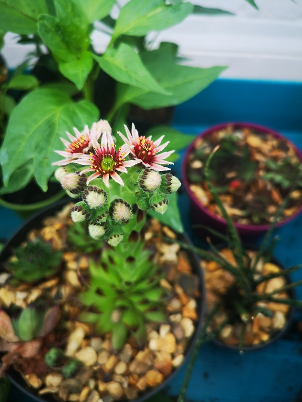 Sempervivium Flowering by FWR