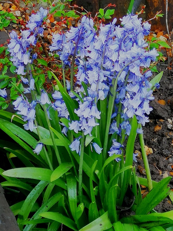 Bluebells by FWR