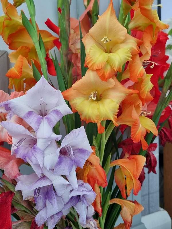 Yellow, red, and purple gladioli in a bouquet.