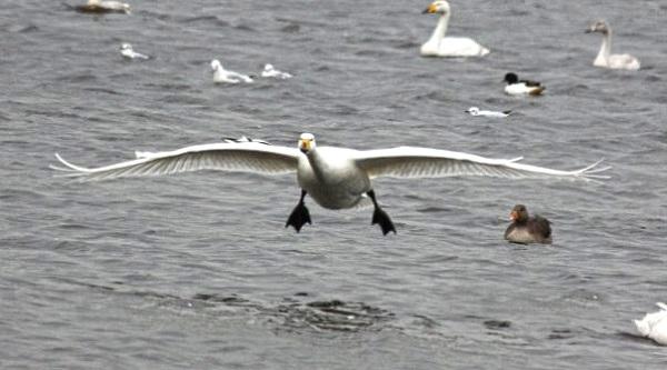 Swan in Flight by FWR