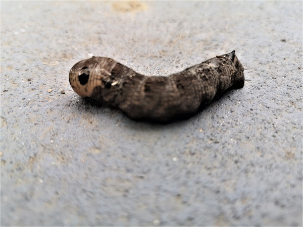Mystery caterpillar by FWR.