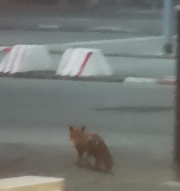 Locdown Fox by FWR.