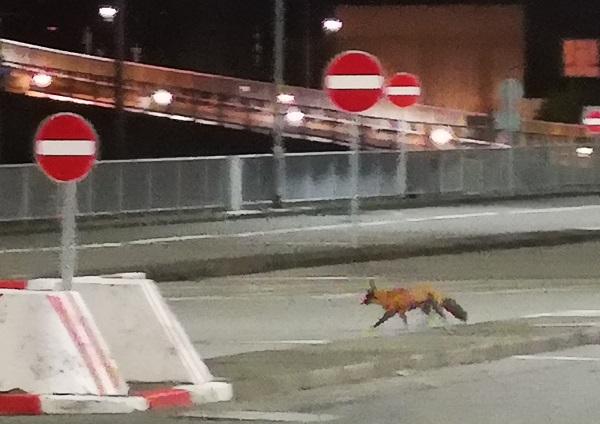 Fox on Road by Freewayriding
