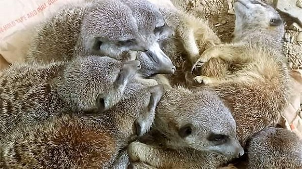 Meerkats in a pile. Aren't they cute?