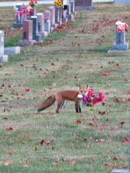 A fox stealing a floral tribute from a cemetery.
