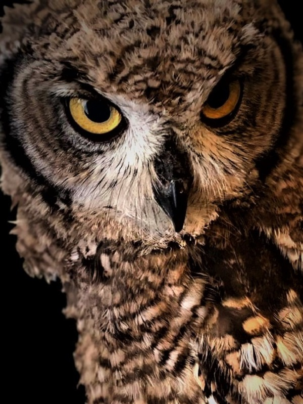 African Spotted Owl by Mrs FWR.
