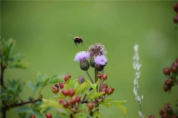 Bee on thistle, by Galaxy Babe's daughter.
