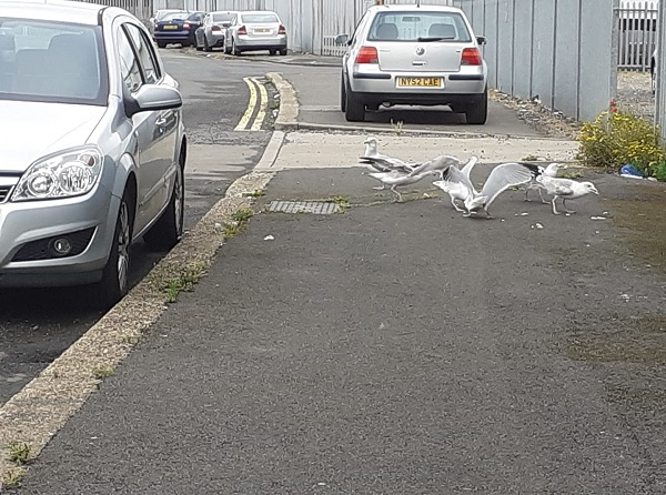 Gulls fighting in a parking lot, by Galaxy Babe.
