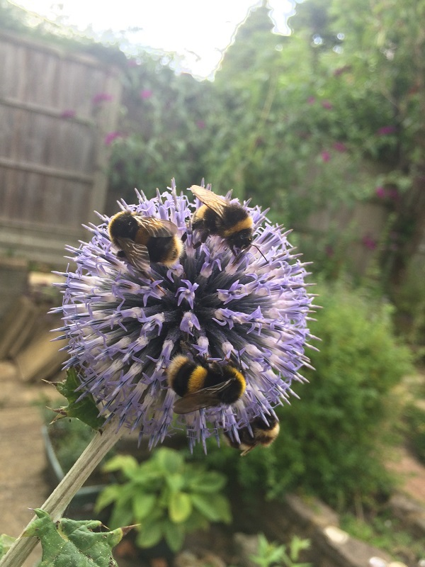 A thistle with bee friends.
