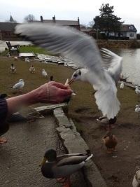 Common Gull by SashaQ.