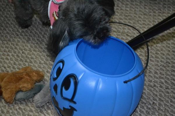 Lola with Halloween pumpkin.