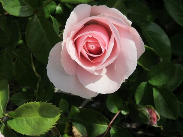 Pale Rose by Minorvogonpoet