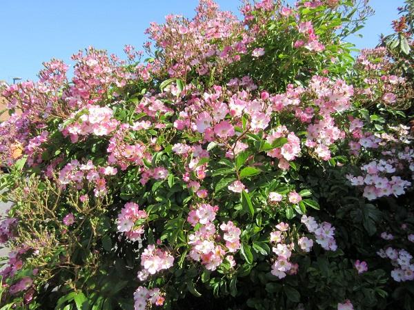 A bush full of roses