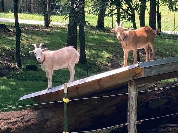Goats on the shed roof, by Mrs Hoggett.
