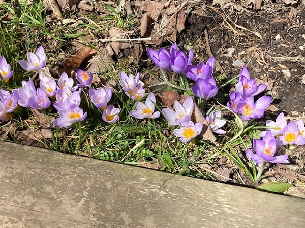 Crocuses by Mrs Hoggett.