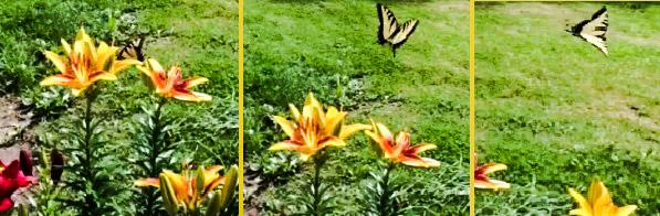 Mrs Hoggett's butterfly