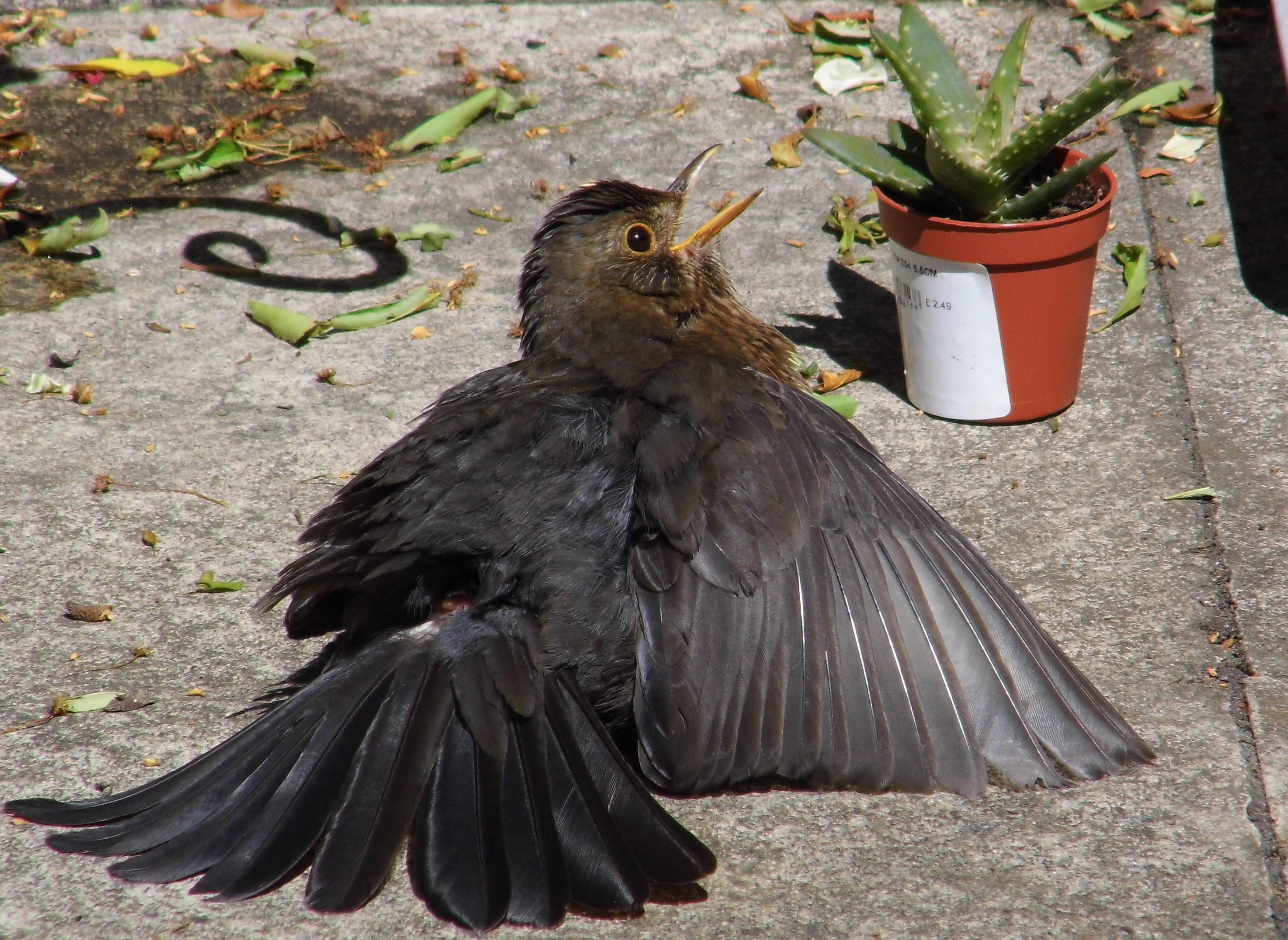Blackbird by Chris Morris