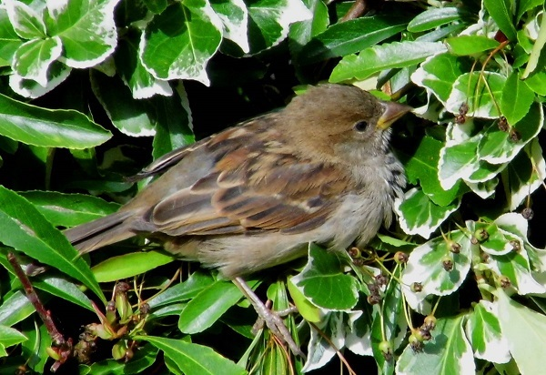 Young Sparrow by Chris Morris