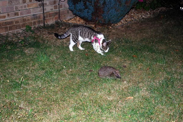 Hedgehog and cat