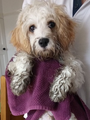 Opie with dirty paws and towel