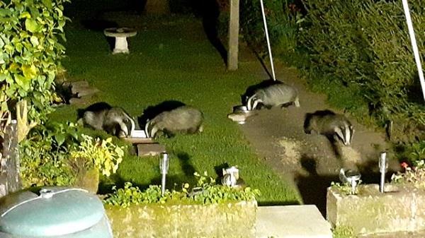 Badgers visiting a garden at night.