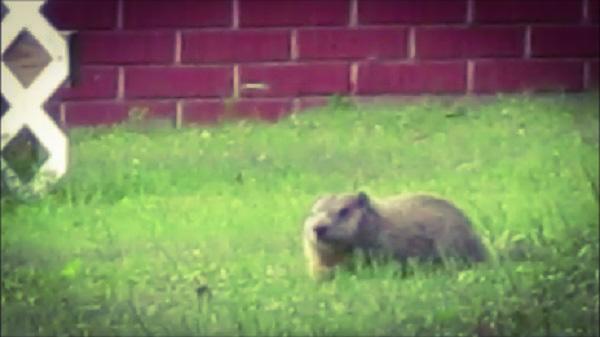 Groundhog in Post Office Garden, by Dmitri Gheorgheni