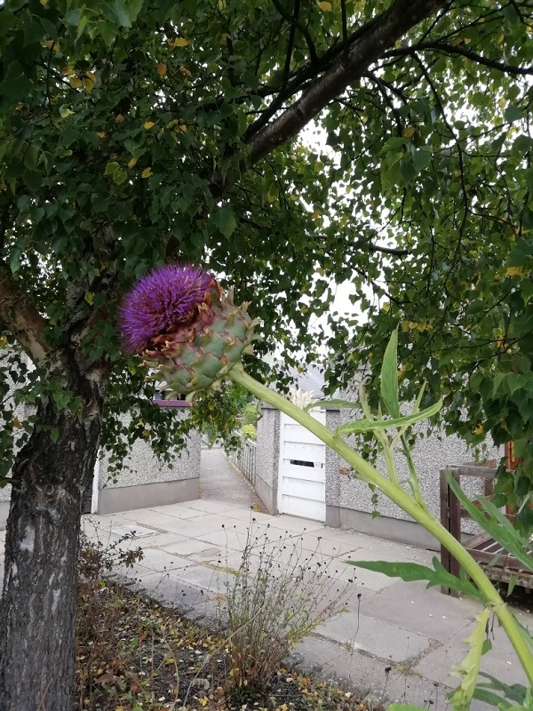 A thistle in flower, by Paigetheoracle.