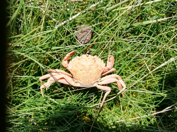 Crab by Paigetheoracle.