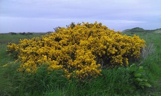 Even more gorse in Scotland