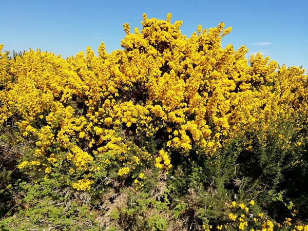 Gorse by Paigetheoracle
