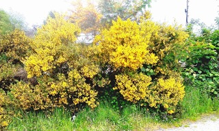 Gorse in Scotland