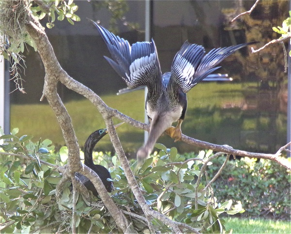 Anhingas by Phred Firecloud