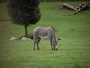 Grevy's zebra.