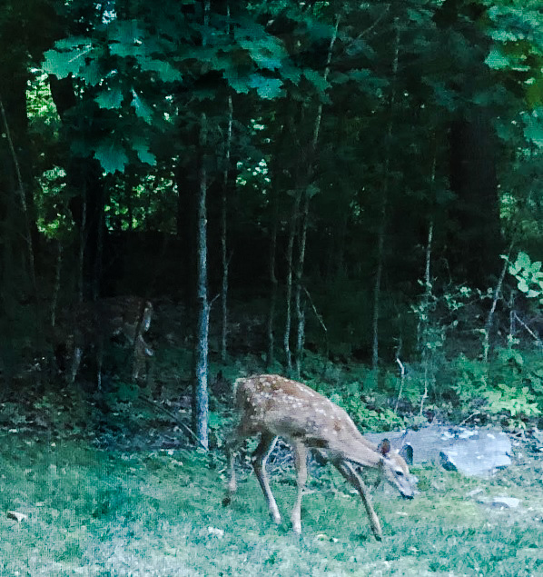 Fawn outside the window, by RandyL. Fawns are adorable, even if they eat your lilies before you've enjoyed them properly.