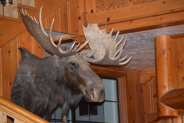 Moosehead at Yellowstone by RandyL. It's mounted, and on a wall at a lodge. Which is sad. But it's still beautiful.