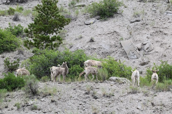 Goats from Yellowstone National Park. Randy would like them identified, please.