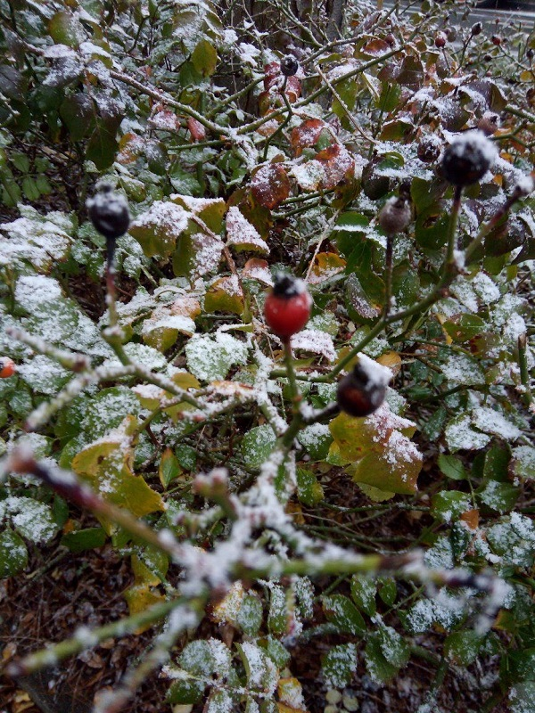 French Snow with Lone Berry by Superfrenchie