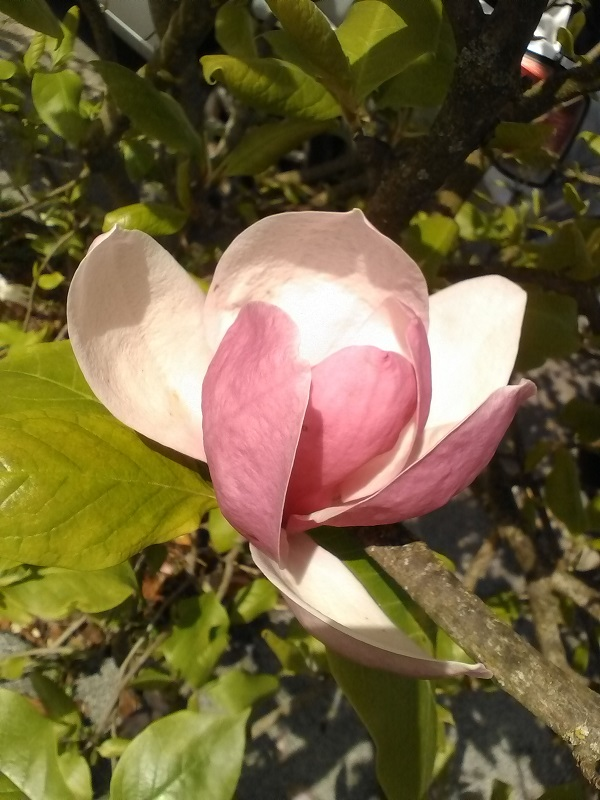 Magnolia by Superfrenchie