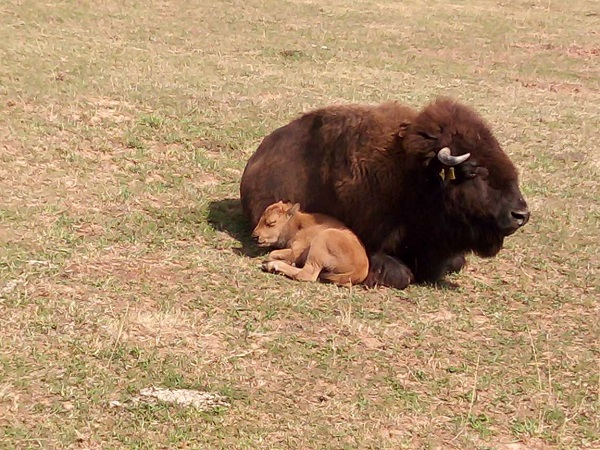 A bison mother and infant by Superfrenchie.